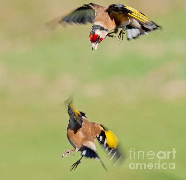 M S Photography Art - Goldfinches in flight
