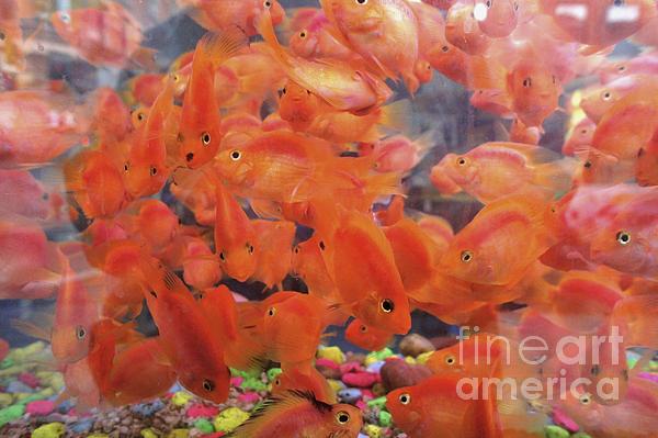 Ed Rooney - Goldfish