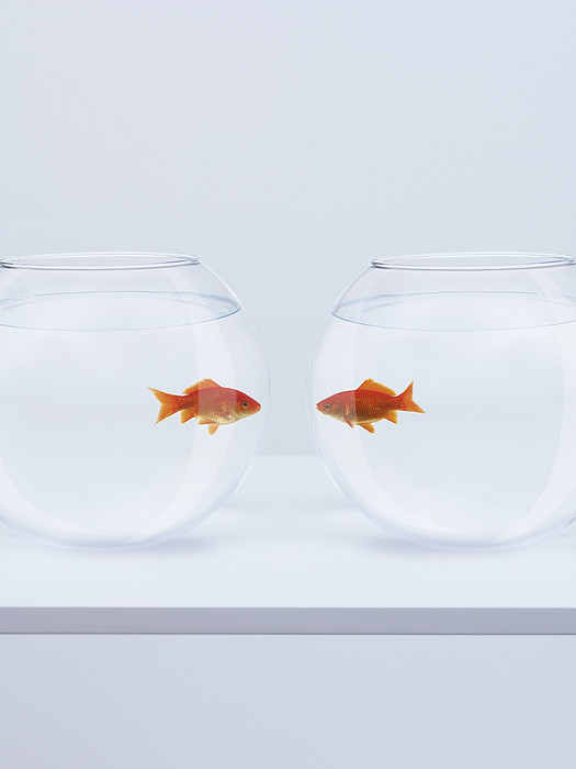 Goldfish In Separate Fishbowls Looking Face To Face Print by Adam Gault