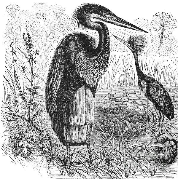 Goliath Heron Print by Granger