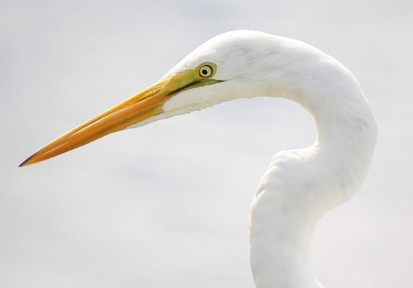 Gorgeous Great White Egret Print by Paulette Thomas