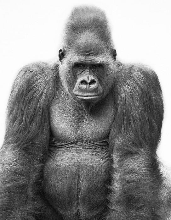 Gorilla Print by Darren Greenwood
