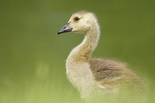 Gosling Print by Lisa Franceski Wildlife Photography
