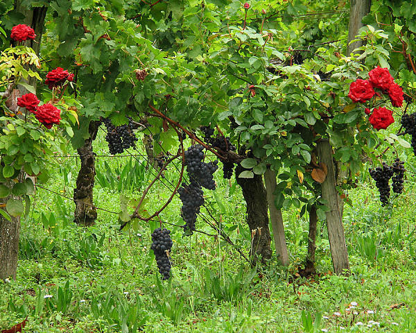 Grape Vines And Roses I Print by Greg Matchick