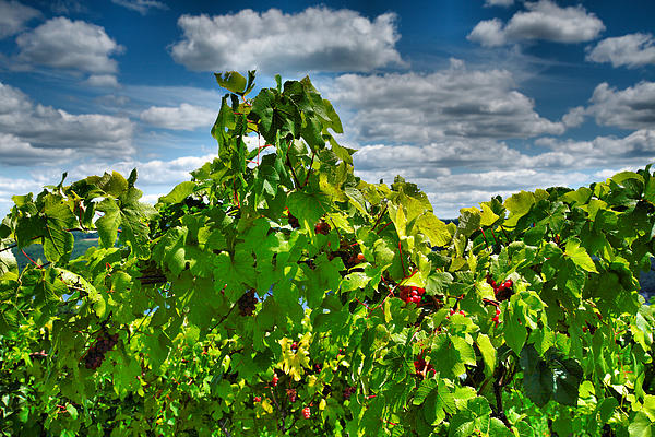 Grape Vines Up Close Print by Steven Ainsworth