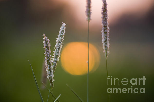 Grass Blooming Print by Heiko Koehrer-Wagner