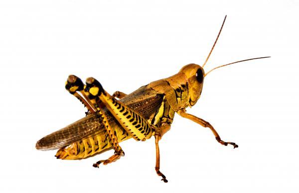 Grasshopper I Print by Gary Adkins