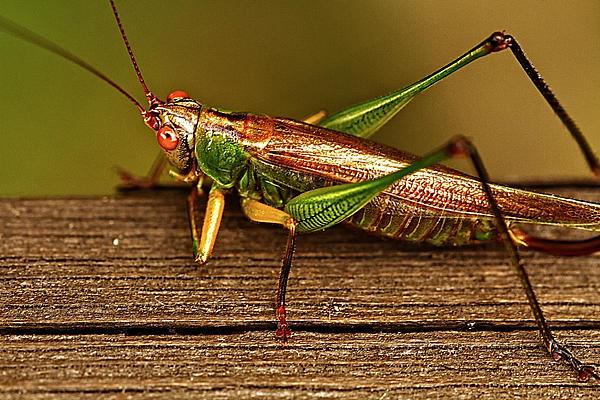 Grasshopper Print by Linda Tiepelman