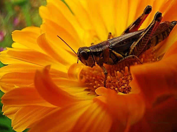 Lianne Schneider - Grasshopper Luncheon
