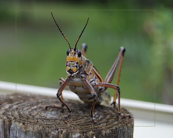 Judy Hall-Folde - Grasshopper on a Post