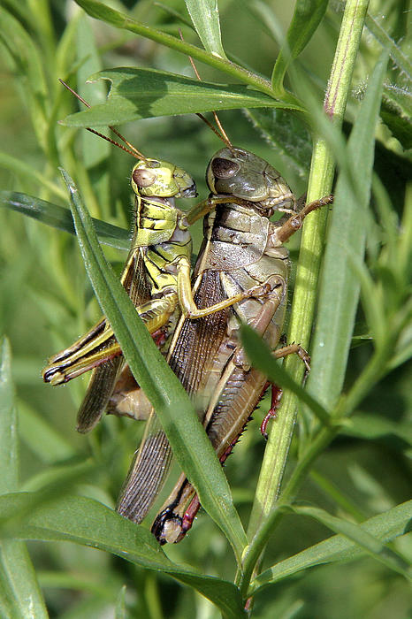 Doris Potter - Grasshoppers mating