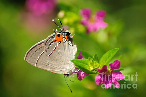 Kathy Gibbons - Gray Hairstreak