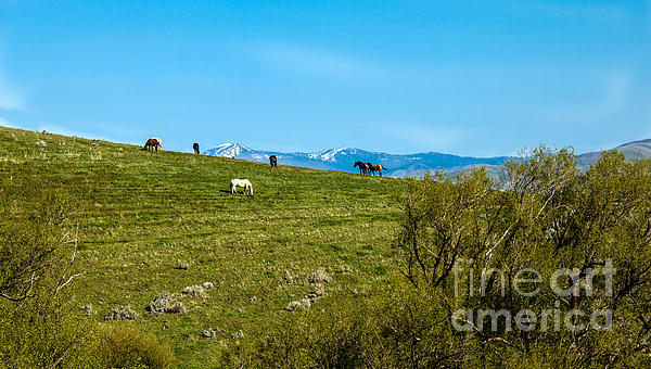 Grazing Horses Print by Robert Bales
