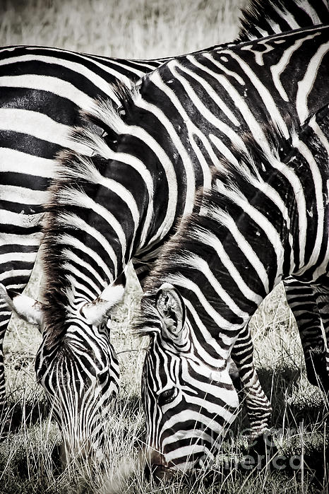 Grazing Zebras Close Up Print by Darcy Michaelchuk