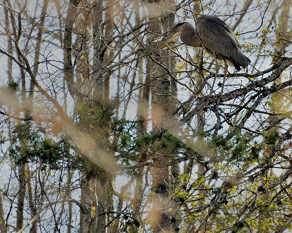 Paul Lyndon Phillips - Great Blue Heron Hunting from Tree - c8790f