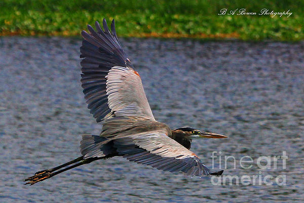 Barbara Bowen - Great Blue Heron in flight