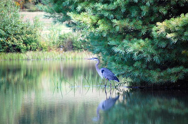 Mary McAvoy - Great Blue Heron in Pines
