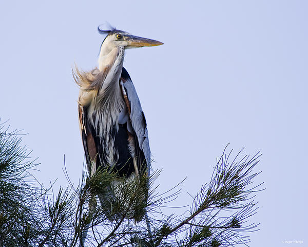 Great Blue Heron On A Windy Day Print by Roger Wedegis