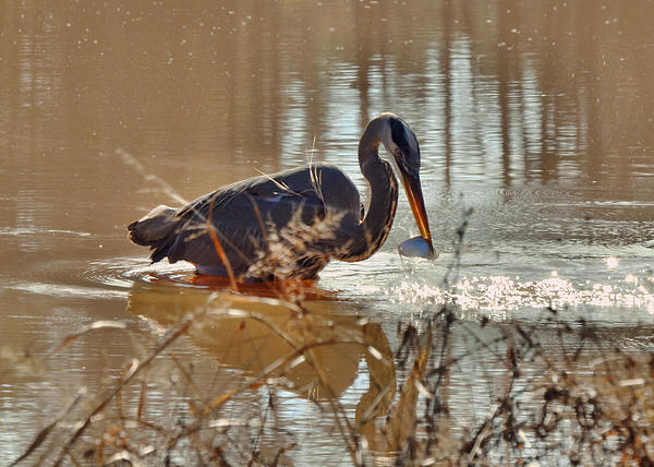 Great Blue Heron Snagging Fish - C3266h Print by Paul Lyndon Phillips