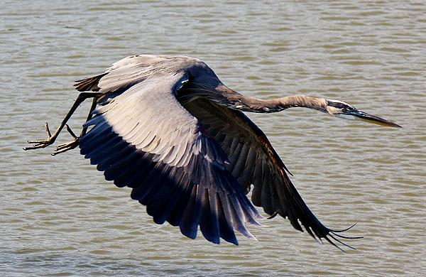 Paulette  Thomas - Great Blue Heron Soaring