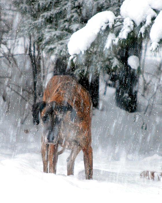Great Dane Rufus Looking Into A Blizzard Print by Lila Fisher-Wenzel