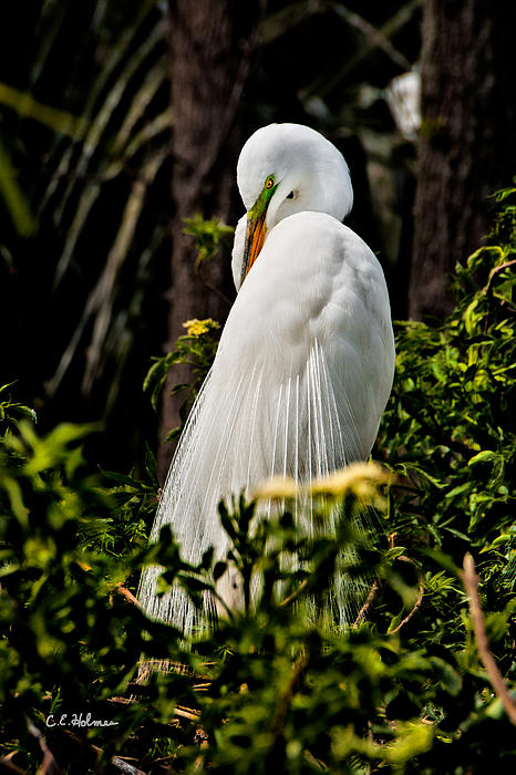 Great Egret Print by Christopher Holmes