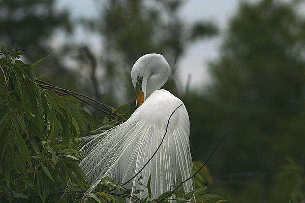 Wayne Stabnaw - Great Egret