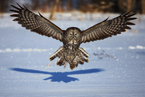 Great Gray Owl ...in Your Face Photograph  - Great Gray Owl ...in Your Face Fine Art Print