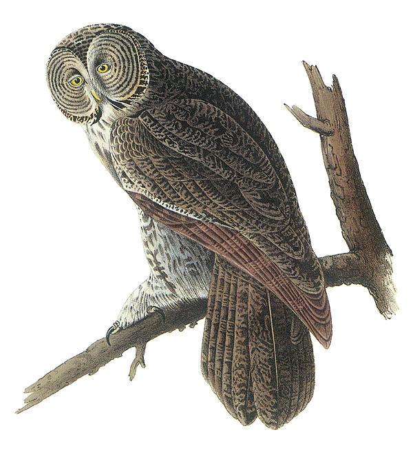 Great Gray Owl Print by John James Audubon