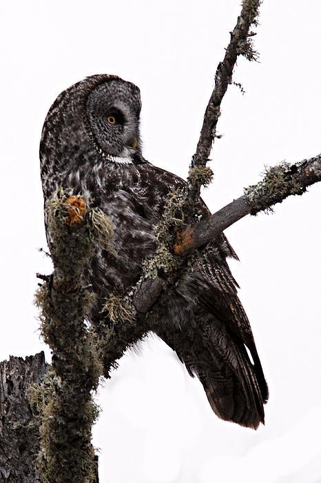 Great Grey Owl Print by Larry Ricker