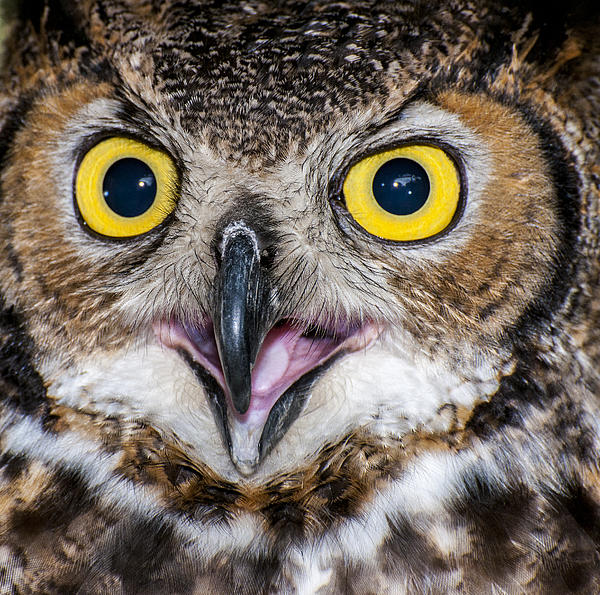 Ray Downs - Great Horned Owl Close-Up 2