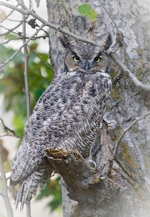 Great Horned Owl II Print by Athena Mckinzie