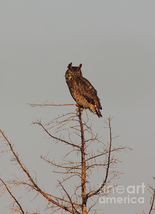 Robert Frederick - Great Horned Owl