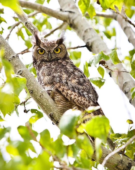 Sheri Van Wert - Great Horned Owl