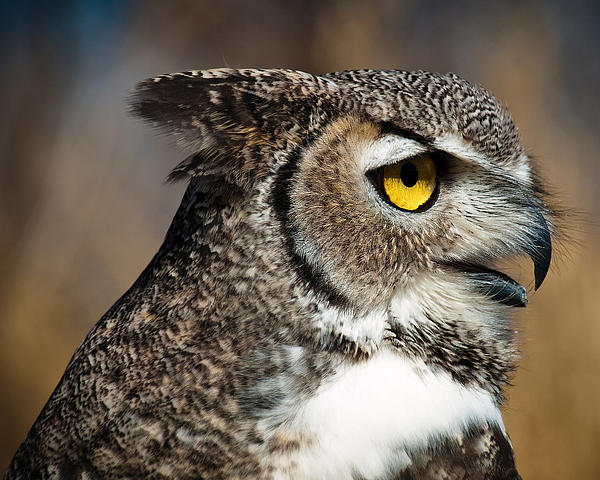 Elaine Snyder - Great Horned Owl - Wise Amber Eyes