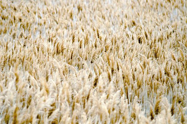 Great Salt Lake Reeds Print by Joseph Rossi