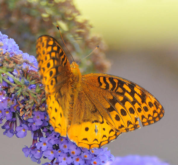 Great Spangled Fritillary Butterfly Print by Paul Ward