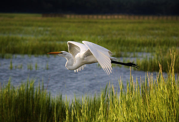 Great White Egret Flying Through The Marsh Print by Paulette Thomas