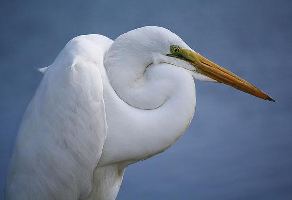 Great White Egret Print by Paulette Thomas