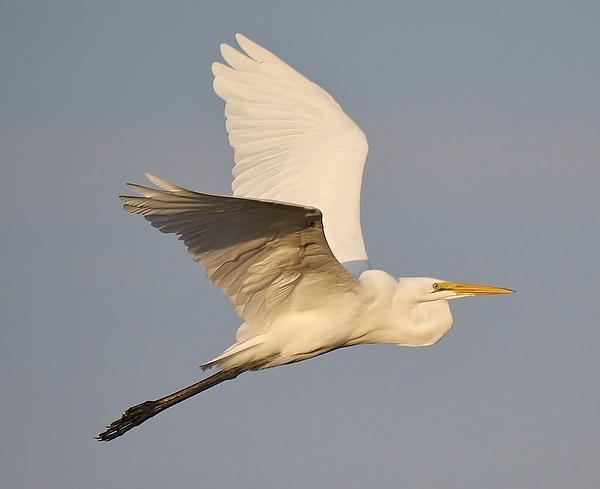 Great White Egret Soaring Print by Paulette Thomas