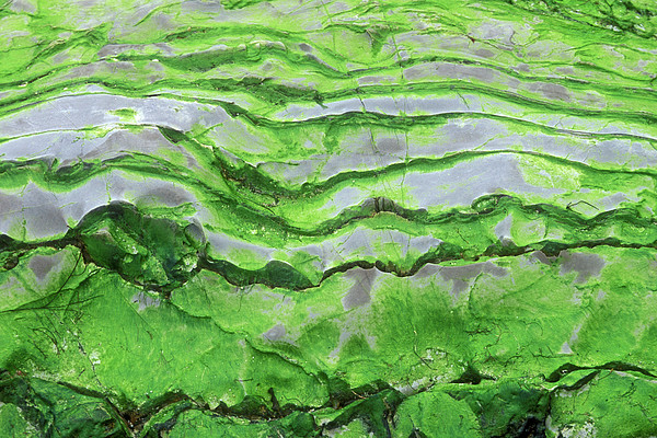 Green Algae Patterns On Exposed Rock At Low Tide, Gros Morne National Park, Ontario, Canada Print by Altrendo Nature