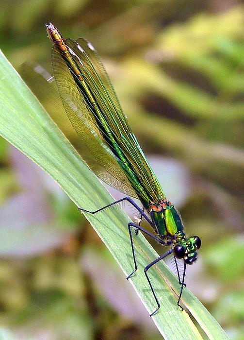 Green Damselfly Print by Ramona Johnston