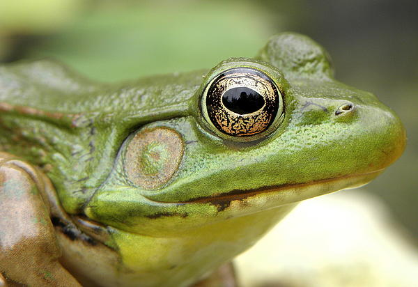 Green Frog Print by Griffin Harris