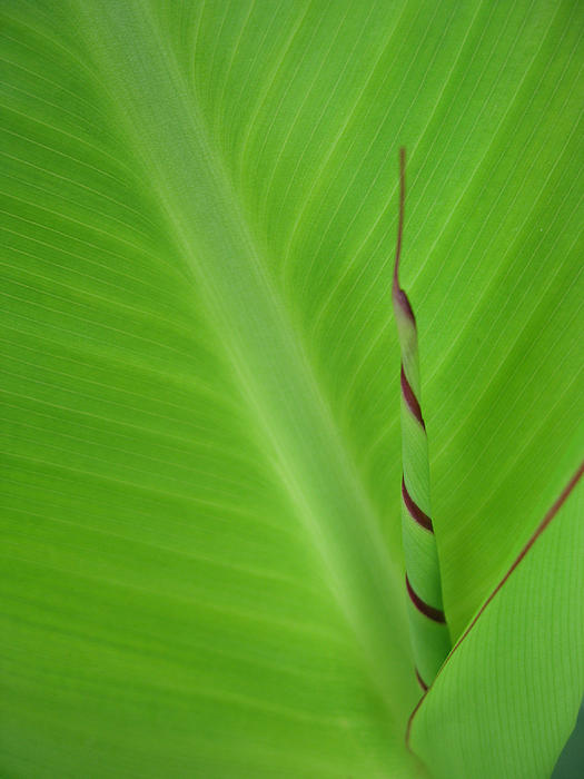 Green Leaf with Spiral New Growth Photograph