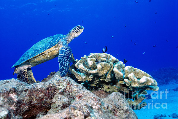 Green Sea Turtle Print by Andrew G Wood and Photo Researchers