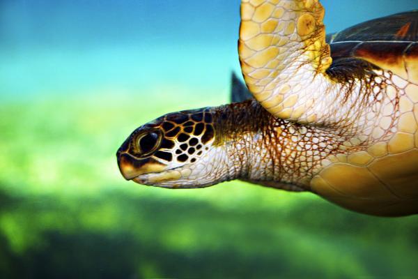 Green Sea Turtle Print by Marilyn Hunt