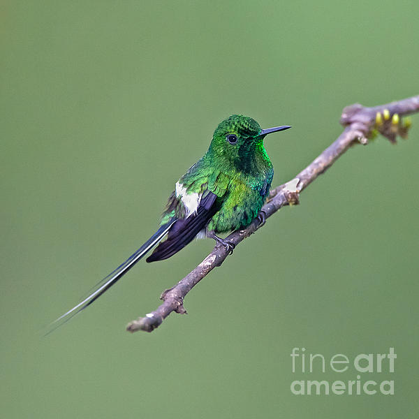 Green Thorntail Print by Jean-Luc Baron