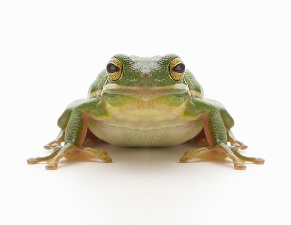 Green Tree Frog (hylidae Cinerea) Print by Don Farrall