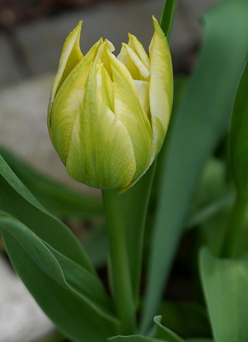 Christiane Schulze Art And Photography - Green Tulip