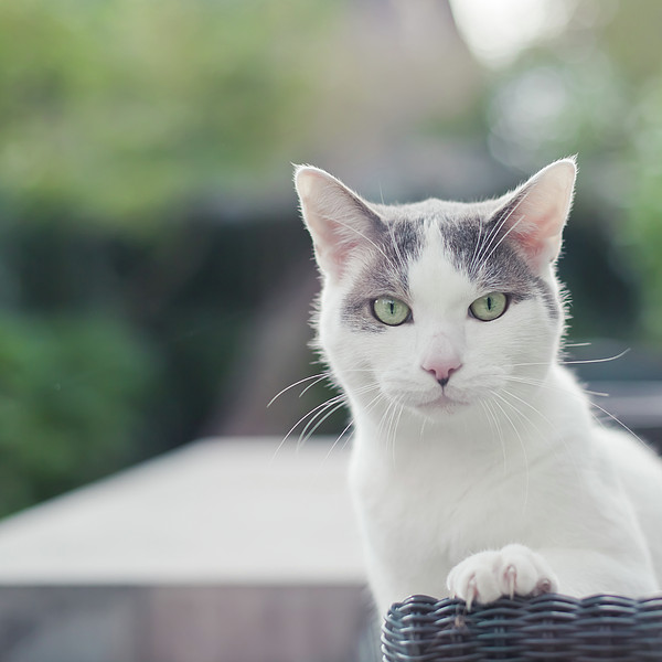 Grey And White Cat Print by Cindy Prins
